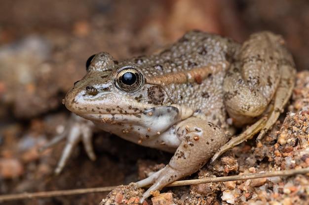 Grüner gemeiner frosch (pelophylax perezi)