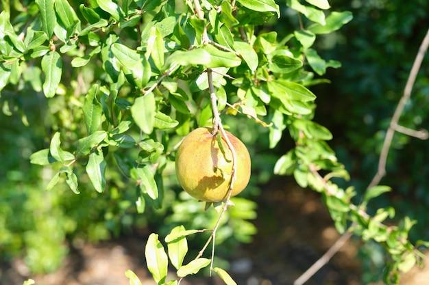 Grüner granatapfel wächst auf baum in tropischer landnahaufnahme