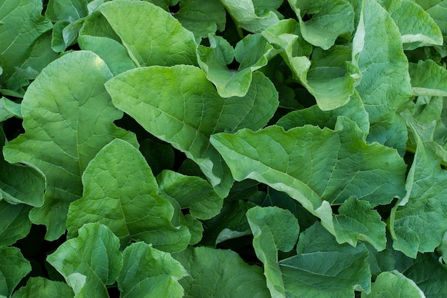 Grüner großer burdokbusch lässt textur. dekoratives pflanzenbild. sommergarten-detail.