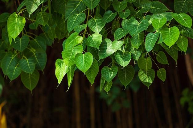 Grüner hintergrund blattes pho (bo-blatt) im waldbo-baum ist ein blatt, das buddhismus in thailand darstellt.