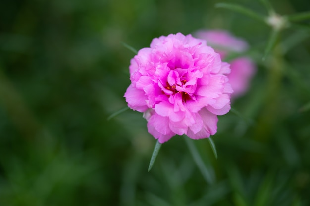 Grüner hintergrund der blume rosa portulaca oleracea