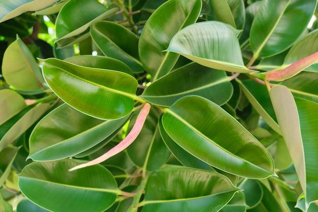 Grüner hintergrund der pflanze, textur aus exotischen hellen blättern tropischer pflanzen, draufsicht auf den immergrünen ficus elastischen busch
