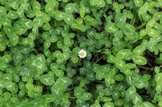 Grüner hintergrund des klees mit einem einsamen gänseblümchen