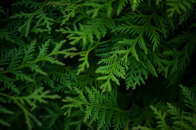 Grüner hintergrund mit zweigen der thuja