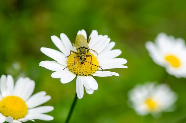 Grüner insektenrüsselkäfer, der auf kamillenblumenfeld sitzt