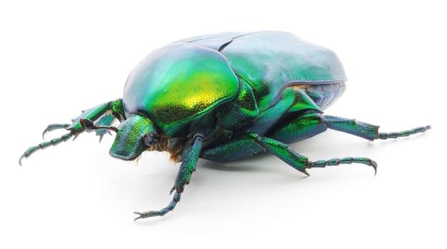 Grüner käfer insekten-rosenkäfer (cetonia aurata) isoliert auf weiß.