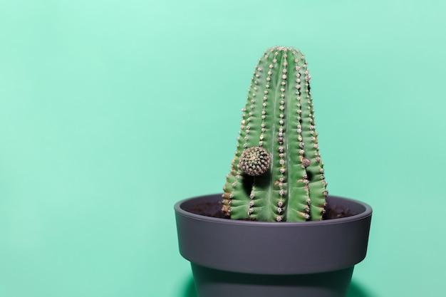 Grüner kaktus der nahaufnahme im topf lokalisiert auf wand der farbe aqua menthe.