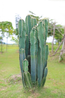Grüner kaktus im garten.
