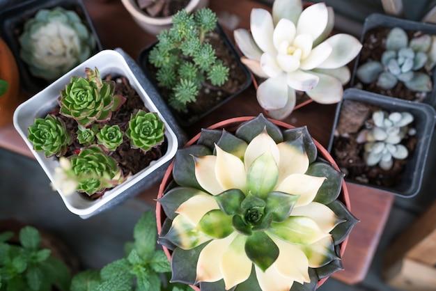 Grüner kaktus in der draufsicht des topfes über holztischhintergründe. frühlingsblumen-konzept