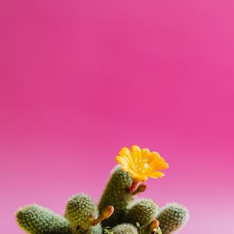 Grüner kaktus mit gelber blumenanlage auf rosa pastellfarbe. trendige tropische stimmung und ton.