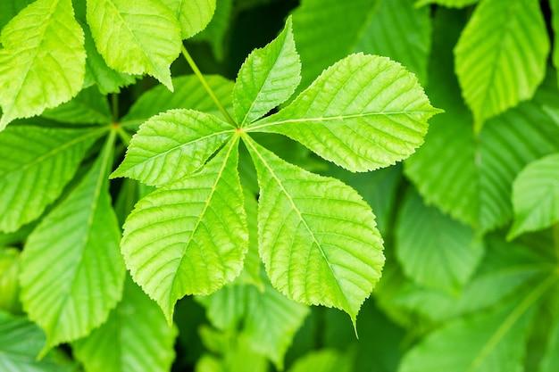 Grüner kastanienblatthintergrund