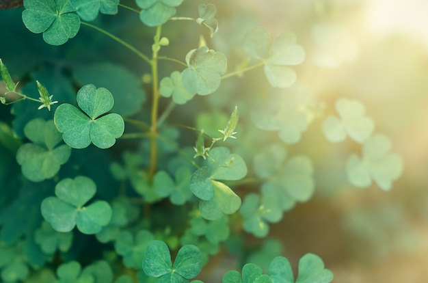 Grüner klee blüht in den lichtstrahlen