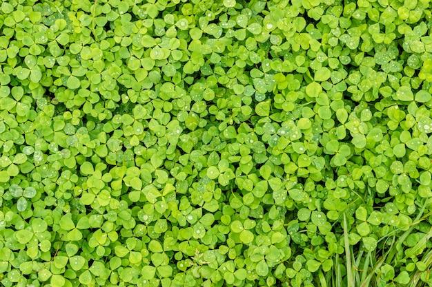 Grüner klee hintergrund oder beschaffenheit der blätter des shamrocks mit tautropfen.