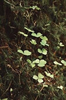 Grüner klee in einem wald