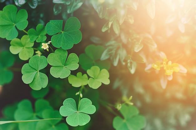 Grüner klee mit einer blume im selektiven fokus