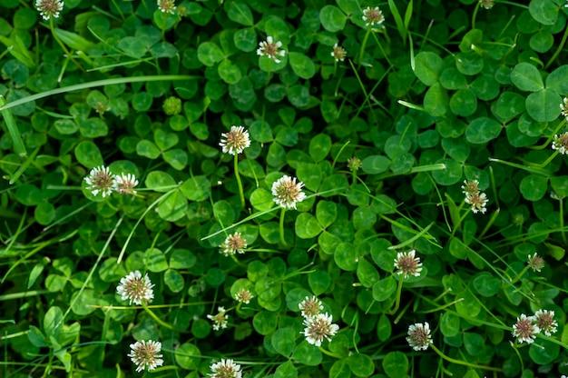 Grüner klee mit weißen blüten. ein bild eines feldes des blühenden klees.