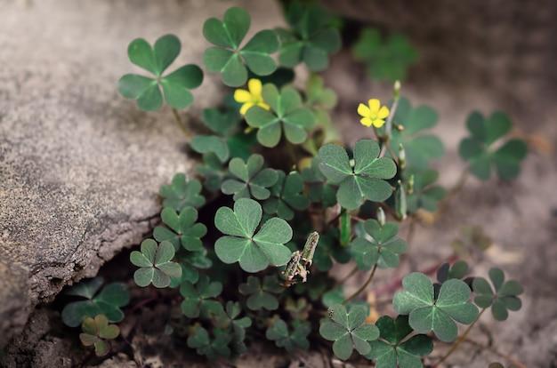 Grüner kleeblätter in der nähe des steins