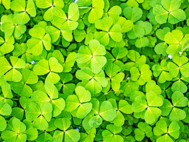 Grüner kleegrashintergrund des frühlinges