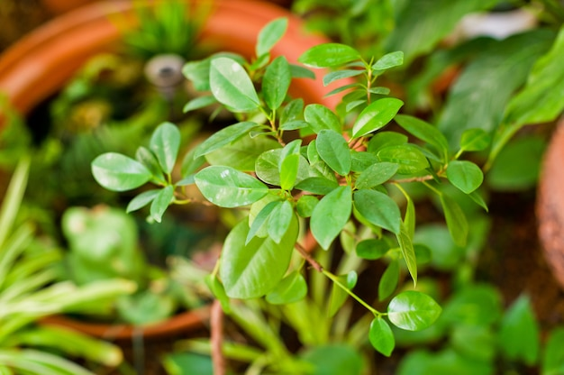 Grüner kleiner moosbeerbaum, zimmerpflanze im topf. wohnkultur und baum liebhaber konzept