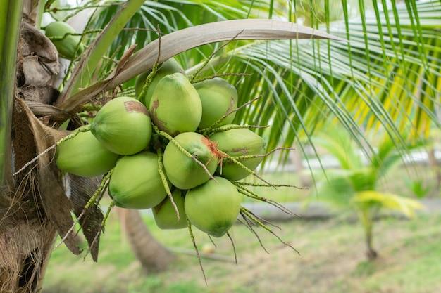 Grüner kokosnussbaum