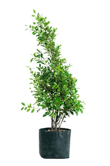 Grüner koreanischer banyanbaum und blatt in einer schwarzen tasche. zierbaum koreanischer banyanbaum auf weiß lokalisiert