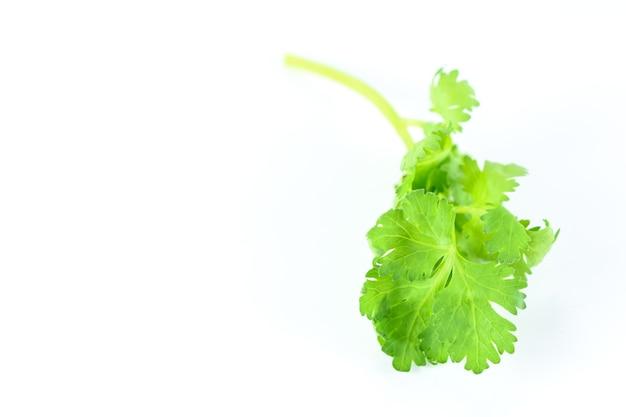 Grüner koriander isoliert auf weißem hintergrund