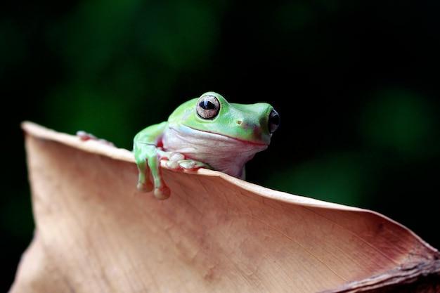 Grüner laubfrosch, dumpy frosch, papua grüner laubfrosch auf dem todesblatt
