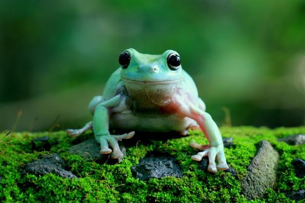 Grüner laubfrosch, dumpy frosch, papua grüner laubfrosch