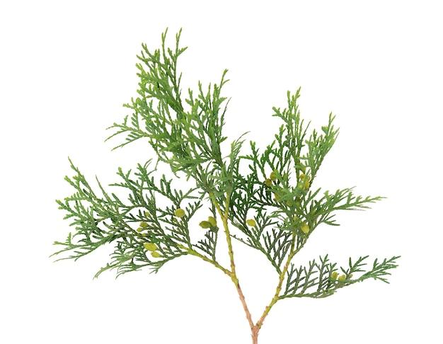 Grüner lebensbaumzweig lokalisiert auf weiß