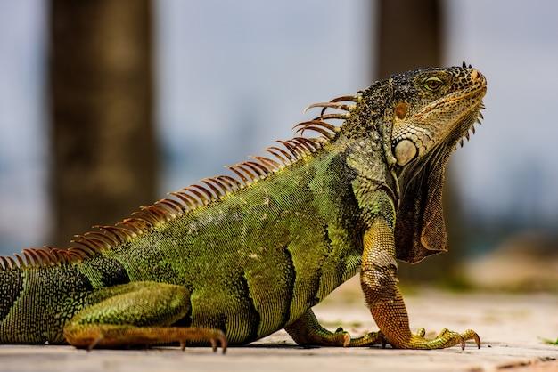Grüner leguan, auch bekannt als common oder american leguan, auf naturhintergrund.