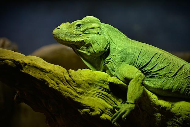 Grüner leguan (iguana leguan)
