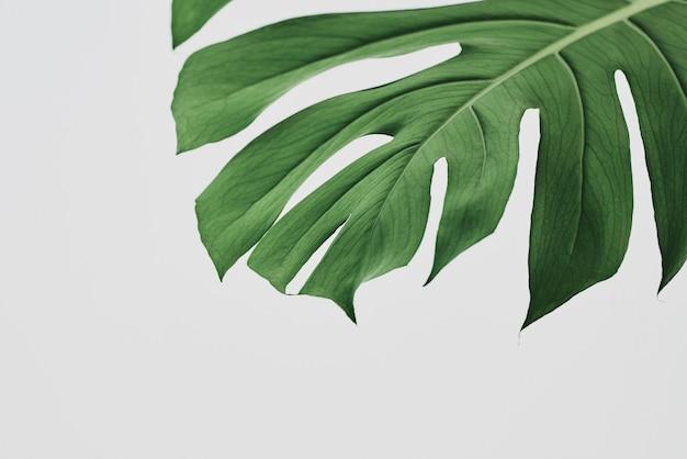 Grüner monstera-blatthintergrund mit designraum