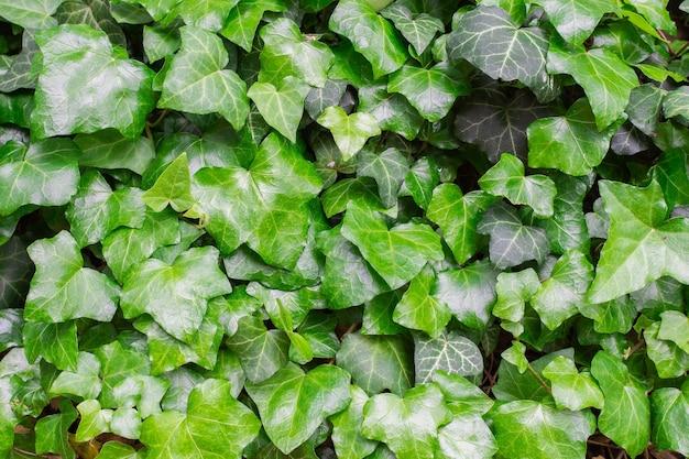 Grüner natürlicher blumenhintergrund von kletterpflanzen, efeublätterhintergrund