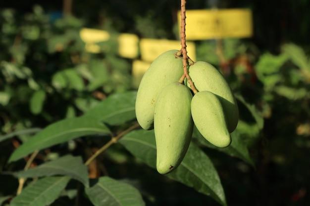 Grüner organischer mangobaum