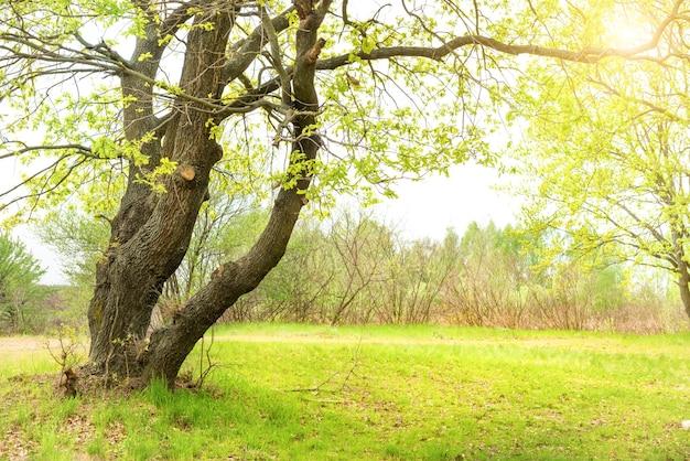 Grüner park mit eichen und gras auf sonnigem rasen