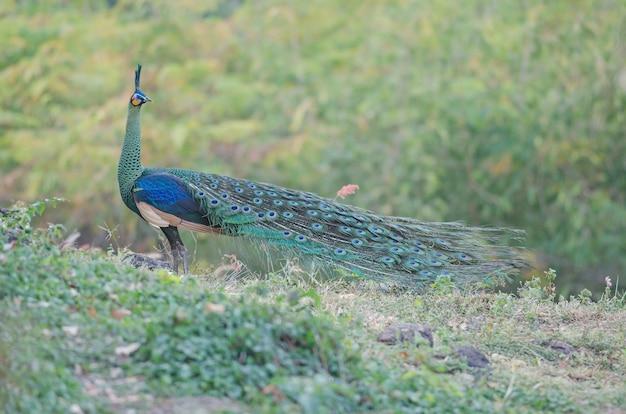 Grüner peafowl, pfau in der natur