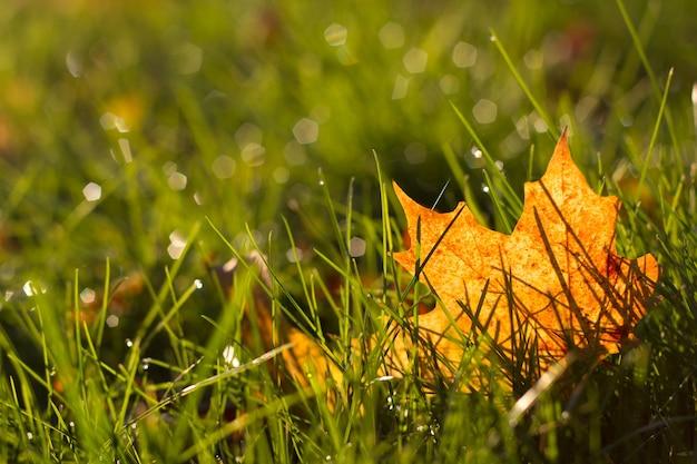 Grüner rasen mit herbstgelbem ahornblatt im tau in den strahlen der untergehenden sonne. warme atmosphäre des herbstes, unscharfes bild