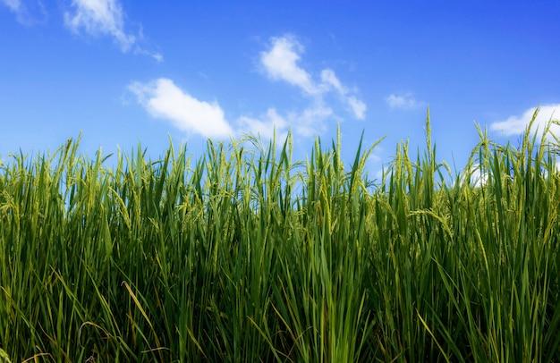 Grüner reis mit blauem himmel.