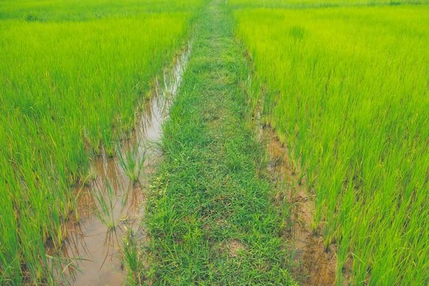 Grüner reisbauernhof des reisfeldes thailand und asiatischer landwirt in der regenzeit.