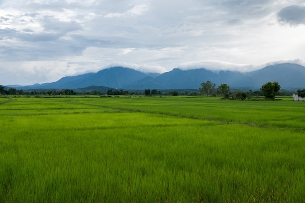 Grüner reisbauernhof des reisfeldes thailand und asiatischer landwirt mit berg auf regenzeit.