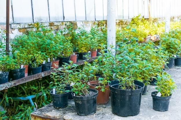 Grüner rhododendron pflanzt setzlinge in töpfen im gewächshaus, die für das pflanzen im stadtparkgarten vorbereitet sind prepared