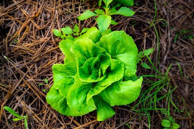 Grüner salat im bio-bauernhof, draufsicht