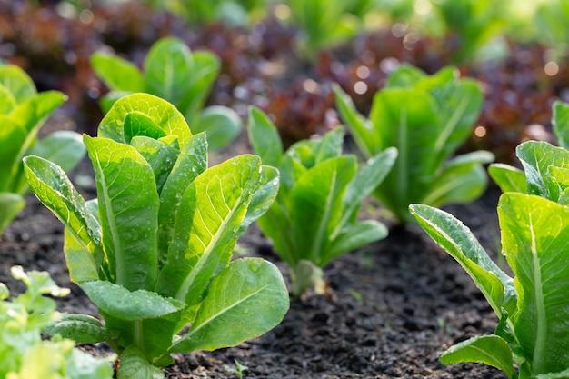 Grüner salat im gemüsegarten