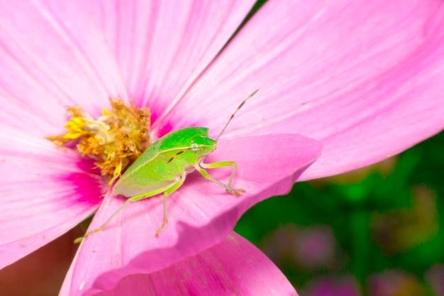 Grüner schild bug auf rosa blume