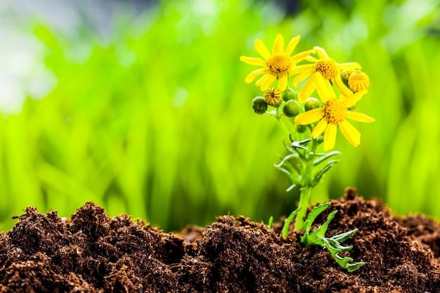 Grüner sprössling, der vom samen im organischen boden wächst