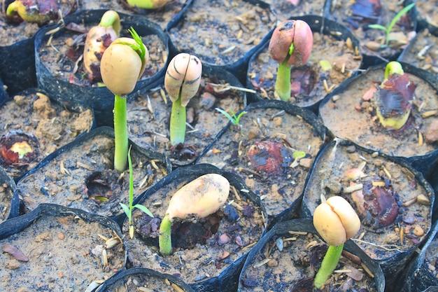 Grüner sprössling, der vom samen wächst