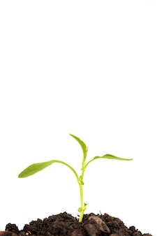 Grüner spross, der aus erde auf weißem hintergrund herauswächst