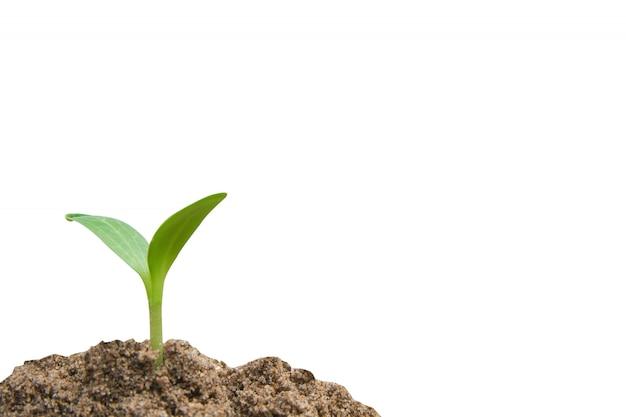 Grüner spross wächst, junge pflanze vom boden lokalisiert auf weiß