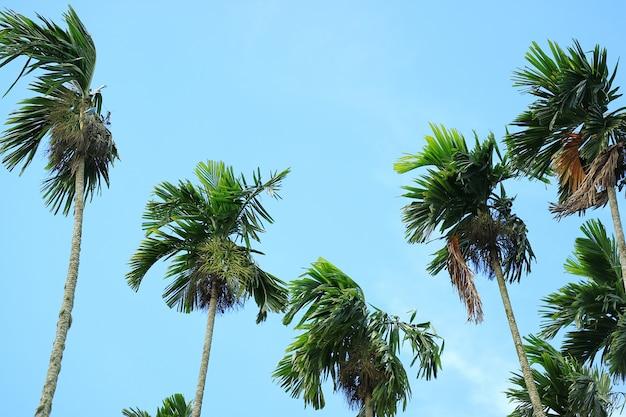 Grüner sugar trees gegen blauen himmel, landschaft von thailand