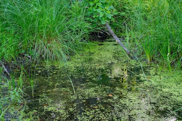 Grüner sumpf mit algen, gras, bäumen und pflanzen in der wildnis.